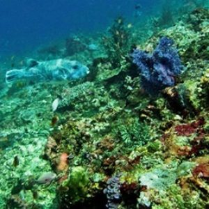 20-Indonesia-Bali_Nusa-Penida_Crystal-Bay_07_(Giant_Puffer_Fish)-APiazza